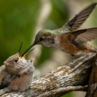 OS-Gary-Larsen-Allens-Humminbirds