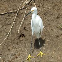 OS-Gary-Larsen-Snowy-Egret