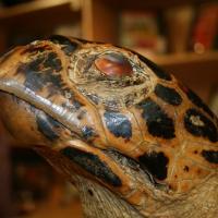 OS-Greg-Turtle
