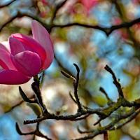 OS-dan-sarago-magnolia